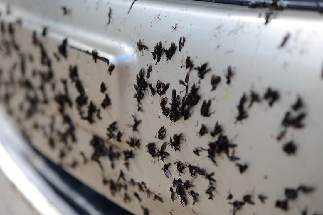 Lovebugs Love Bugs Lovebug Season Florida Love Bugs The Love